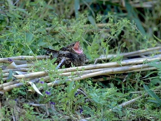 愛鳥週間(バードウィーク)、蔵織で2008年に野鳥写真展をやった兄の写真です。_d0178448_2247565.jpg