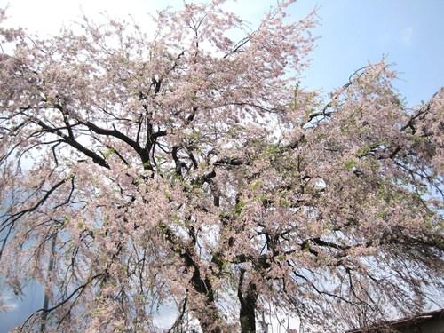 軽井沢の桜@連休最終日_f0236260_16244365.jpg
