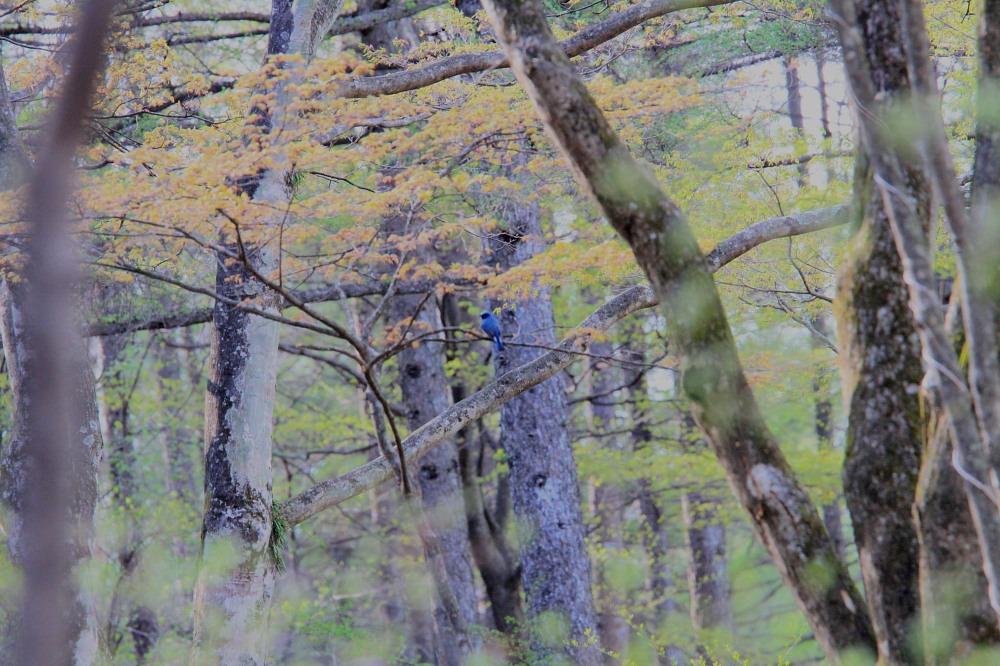 マミジロ  オオルリに負けない青さでした。  2012.5.5茨城県_a0146869_22145853.jpg