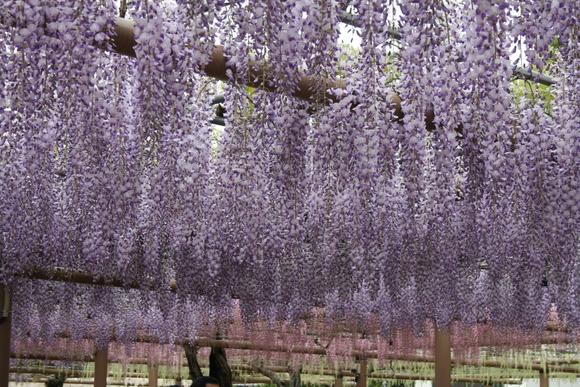 藤の花と花畑_c0248269_10122129.jpg