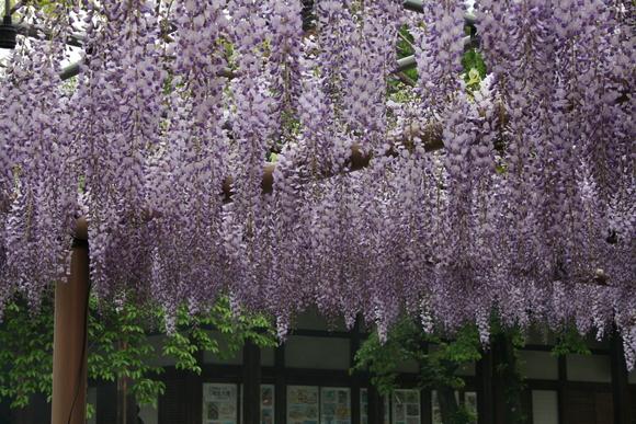 藤の花と花畑_c0248269_1093131.jpg
