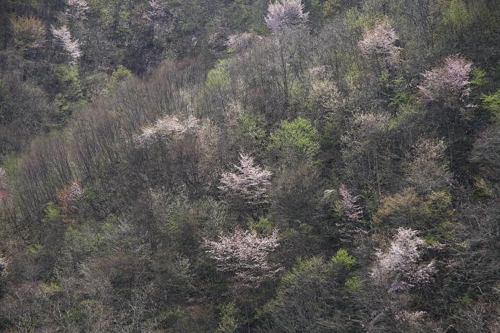 福島 桜巡り 喜多方市・山都 鏡桜 その2_e0165983_9164177.jpg