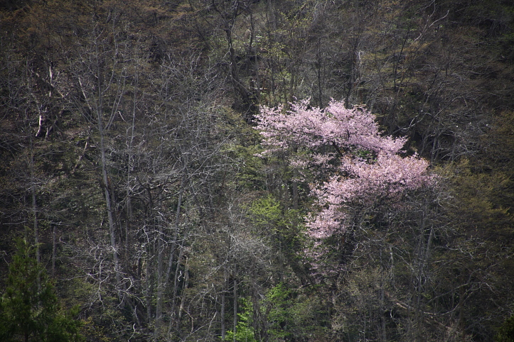 福島 桜巡り 喜多方市・山都 鏡桜 その2_e0165983_9172244.jpg