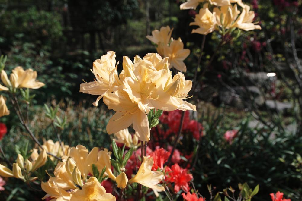 キレンゲツツジ 魅惑の黄色_c0223825_1225994.jpg