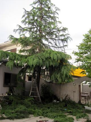 シンボルツリーの散髪_a0142059_9542564.jpg