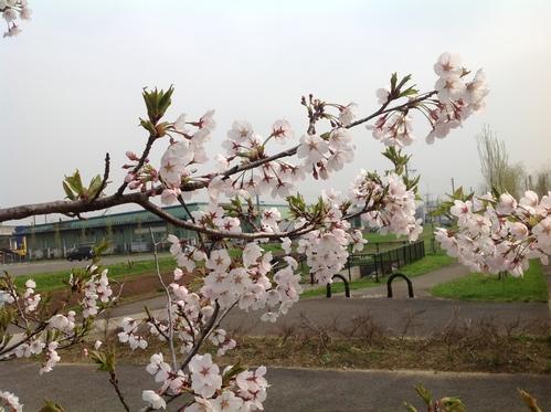 桜、満開_e0266363_2221114.jpg