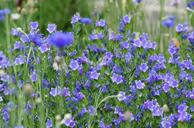青い花_e0181373_2110269.jpg