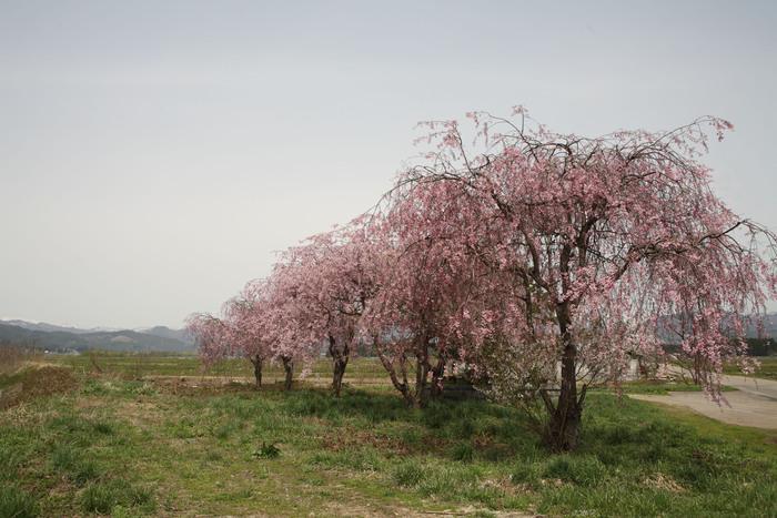 福島 桜巡り 喜多方市・山都 名も知れぬ桜_e0165983_1511574.jpg