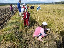 稲刈り体験(緑が丘小・北郷小)_d0247484_2295359.jpg
