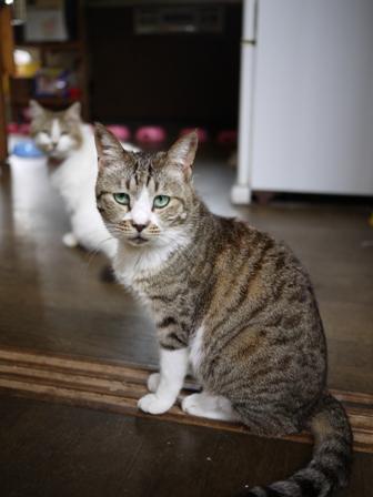 猫のお友だち ハナちゃんセトラちゃんエムくんチコちゃんライオンちゃんモコちゃんハルちゃんクロくん編。_a0143140_0141974.jpg