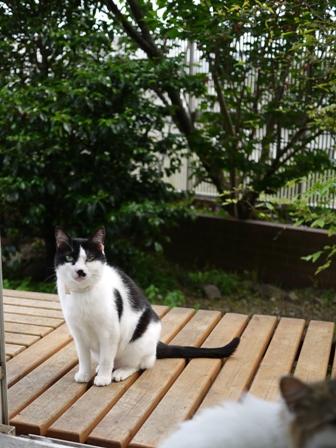 猫のお友だち ハナちゃんセトラちゃんエムくんチコちゃんライオンちゃんモコちゃんハルちゃんクロくん編。_a0143140_09214.jpg
