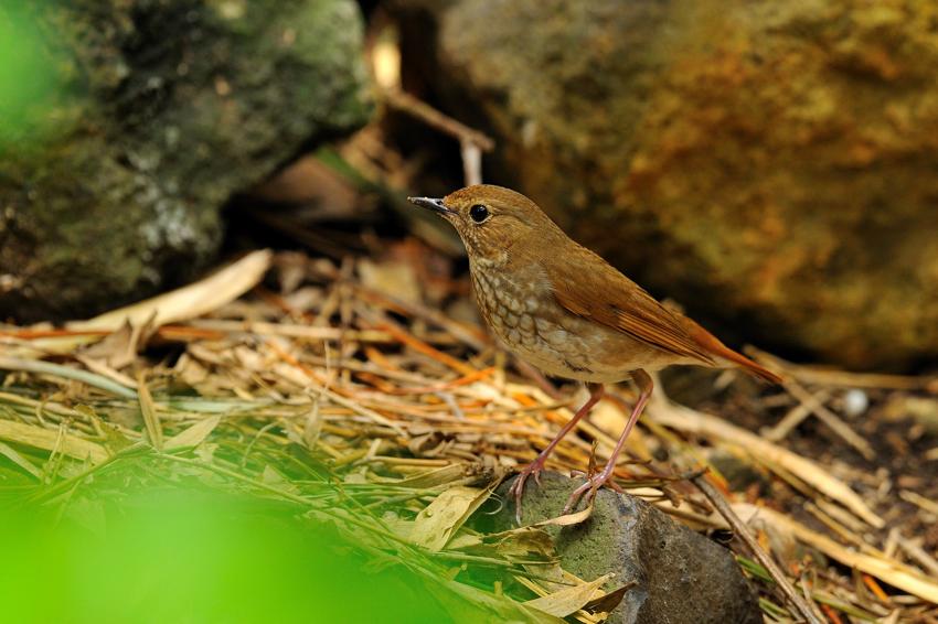 シマゴマ(Rufous-tailed Robin) ~2012.05_b0148352_22405054.jpg