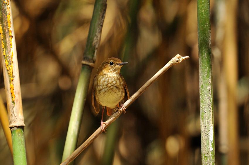 シマゴマ(Rufous-tailed Robin) ~2012.05_b0148352_22412894.jpg