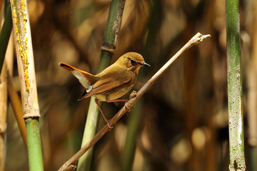 シマゴマ(Rufous-tailed Robin) ~2012.05_b0148352_22414260.jpg