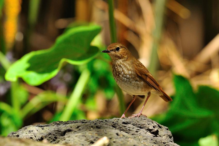 シマゴマ(Rufous-tailed Robin) ~2012.05_b0148352_22422378.jpg