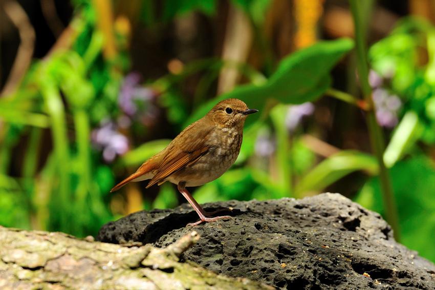 シマゴマ(Rufous-tailed Robin) ~2012.05_b0148352_22423523.jpg