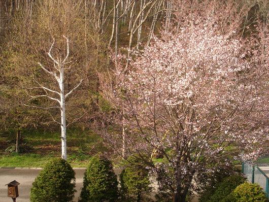 玄関先のシラカバの新緑と桜が7分咲きになりました_a0217365_16442867.jpg