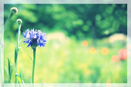 青いナデシコ(←間違えた!矢車草でしたー)_d0092990_23311692.jpg
