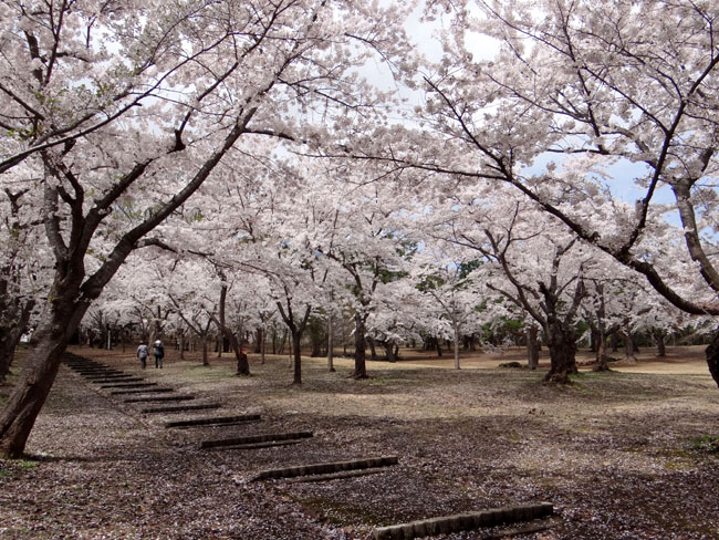岩木山・桜林公園。桜の香りやカタクリなど_a0136293_1610319.jpg