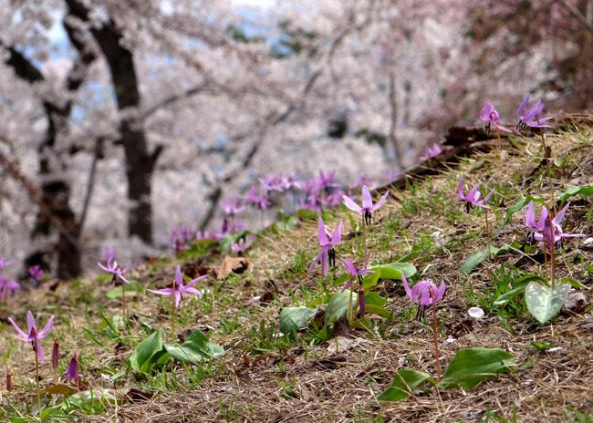 岩木山・桜林公園。桜の香りやカタクリなど_a0136293_1612123.jpg