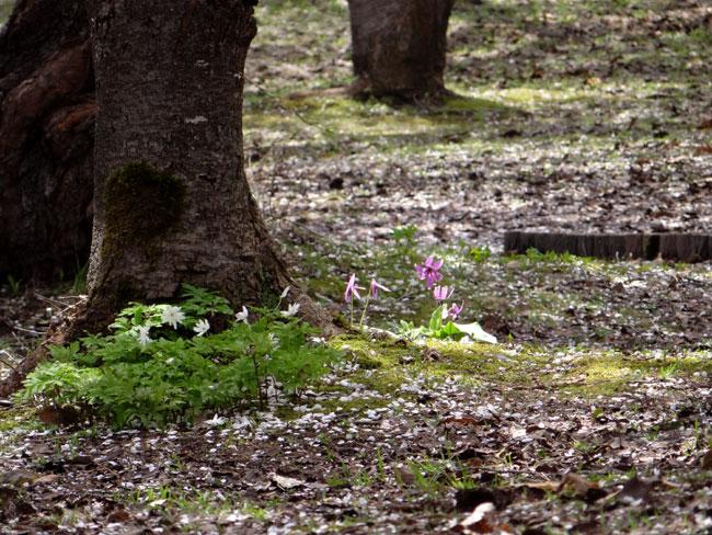 岩木山・桜林公園。桜の香りやカタクリなど_a0136293_16184763.jpg