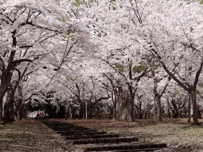 岩木山・桜林公園。桜の香りやカタクリなど_a0136293_1641150.jpg