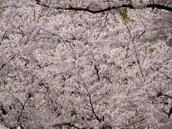 岩木山・桜林公園。桜の香りやカタクリなど_a0136293_1654249.jpg