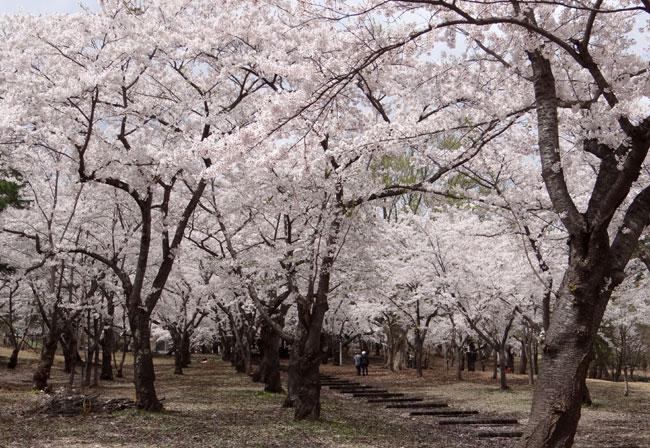 岩木山・桜林公園。桜の香りやカタクリなど_a0136293_1661354.jpg