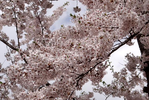 岩木山・桜林公園。桜の香りやカタクリなど_a0136293_168833.jpg