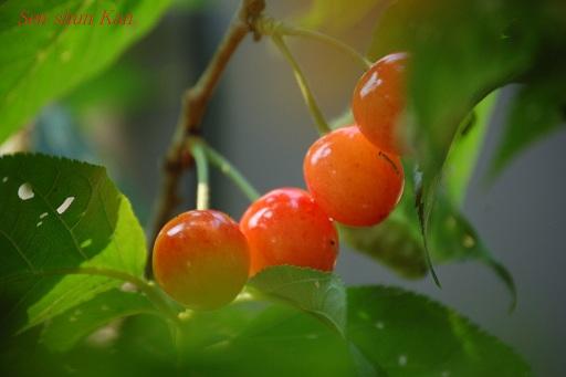 真っ赤なさくらんぼ(暖地桜桃)_a0164068_16285963.jpg