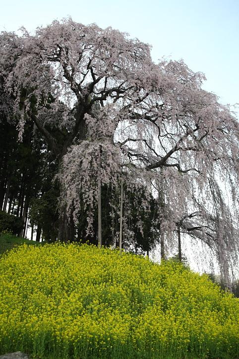 福島 桜巡り 二本松市・合戦場の枝垂れ桜 その1_e0165983_165949.jpg