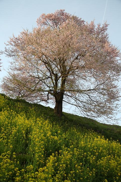 福島 桜巡り 二本松市・合戦場の枝垂れ桜 その1_e0165983_167797.jpg
