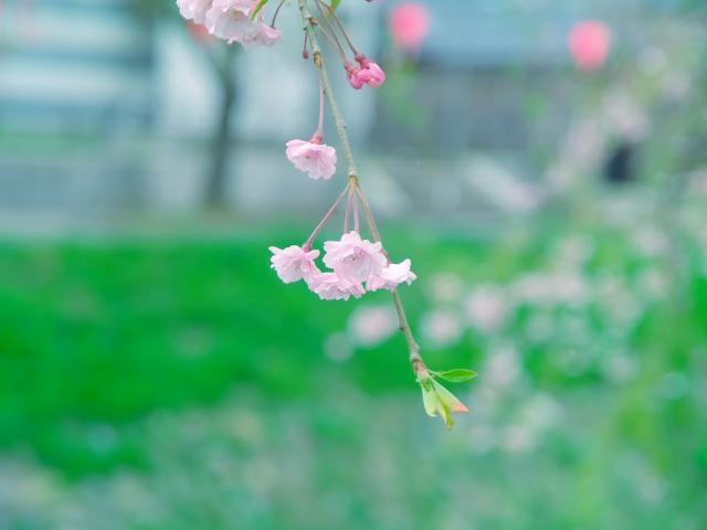 故郷の風景 高田公園の桜_f0024992_8361025.jpg