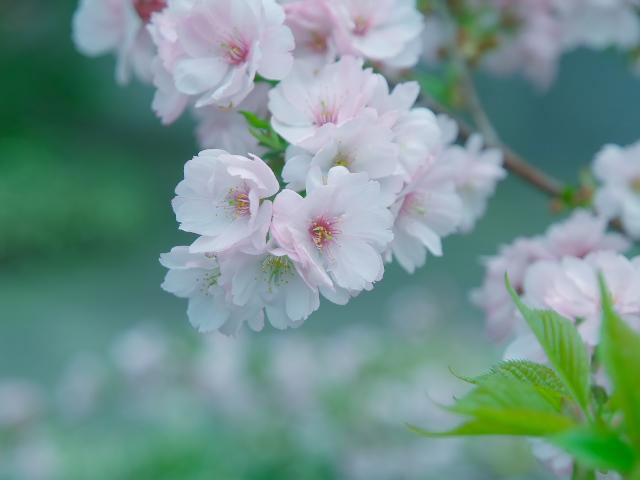 故郷の風景 高田公園の桜_f0024992_8361550.jpg