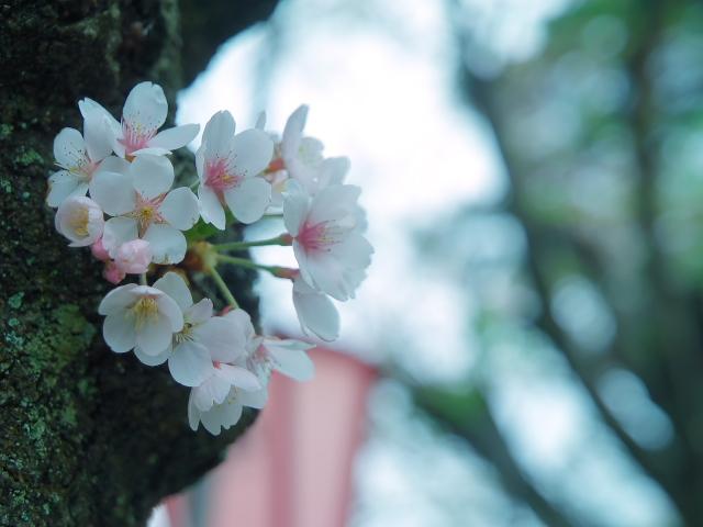 故郷の風景 高田公園の桜_f0024992_8363277.jpg