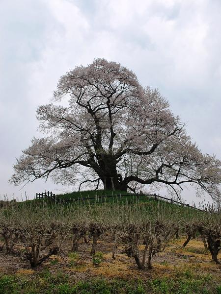発地の桜2012_c0177814_11565483.jpg