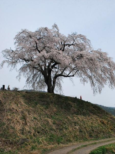発地の桜2012_c0177814_12103052.jpg