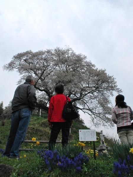 発地の桜2012_c0177814_124824.jpg