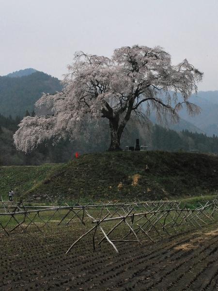 発地の桜2012_c0177814_1294323.jpg