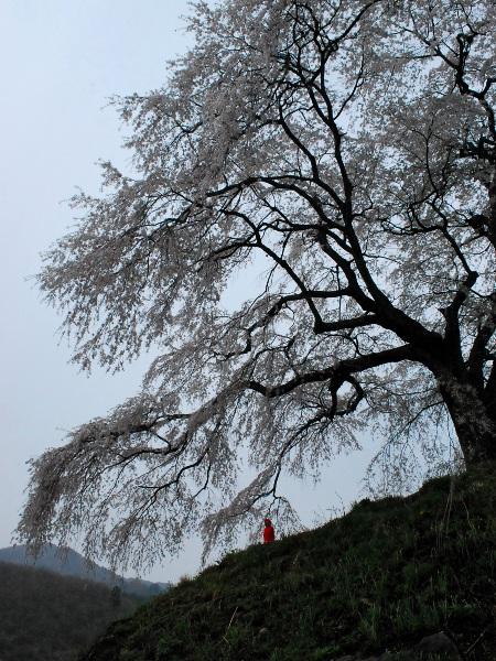 発地の桜2012_c0177814_1295966.jpg