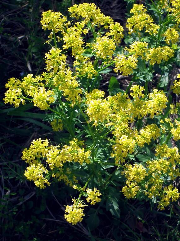 一見菜の花…春咲山芥子_e0064158_00755.jpg