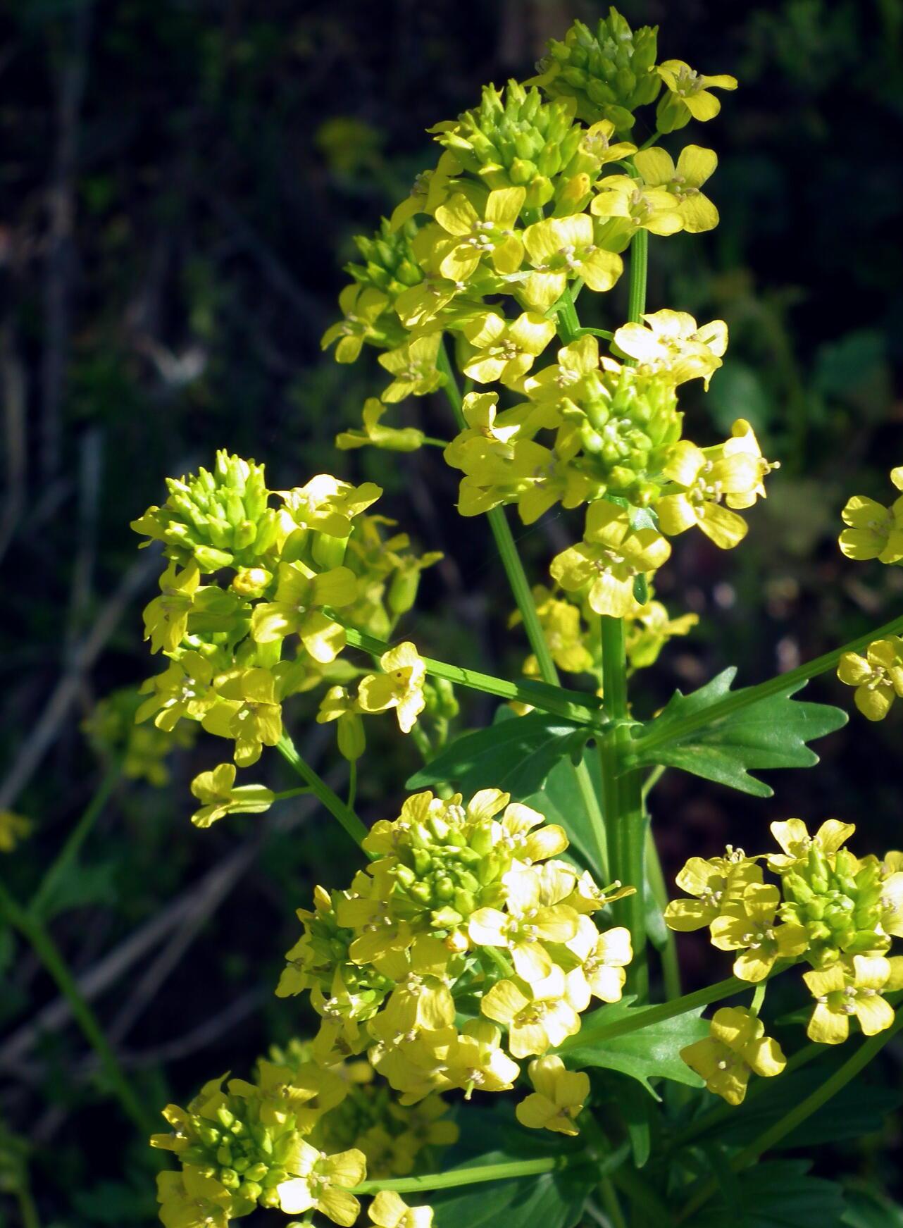 一見菜の花…春咲山芥子_e0064158_23562969.jpg