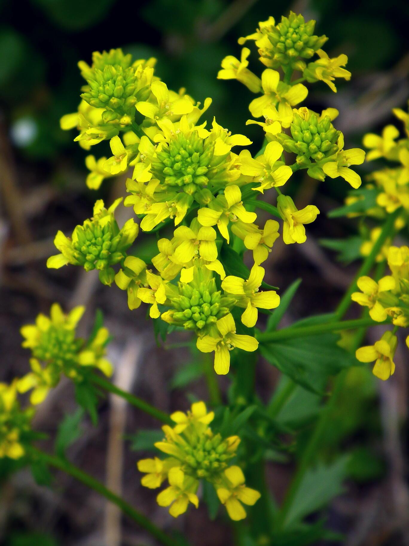 一見菜の花…春咲山芥子_e0064158_23564357.jpg