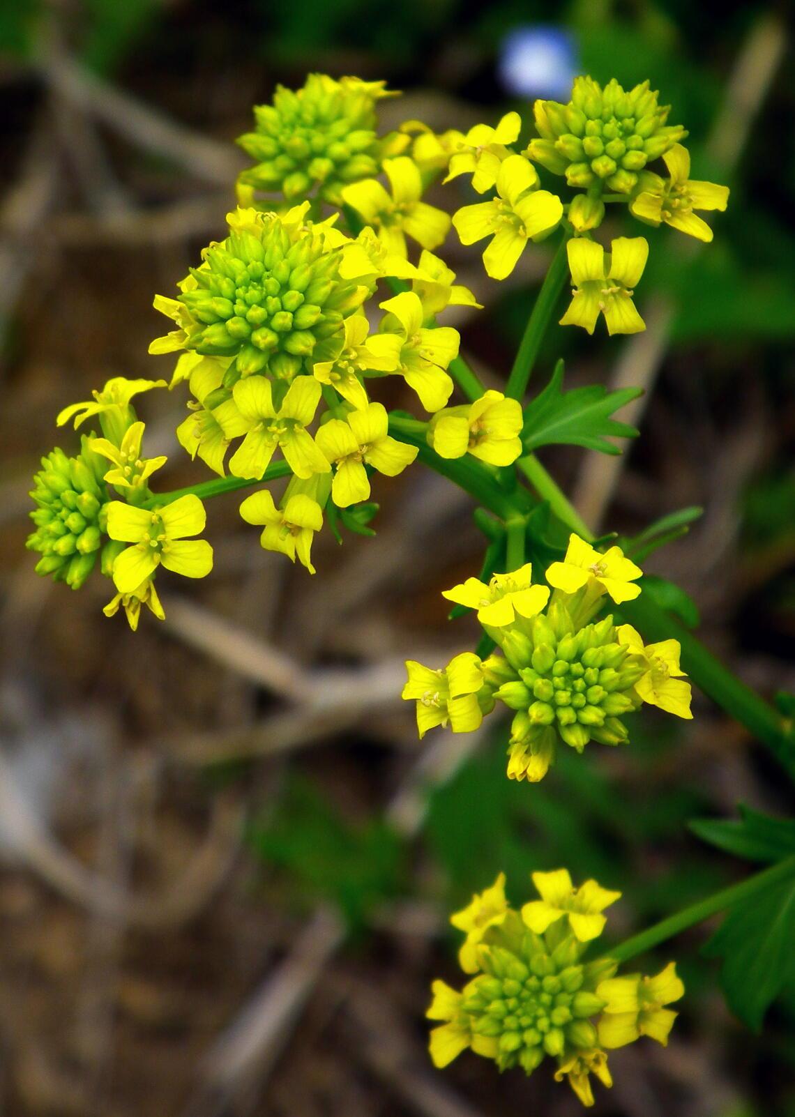 一見菜の花…春咲山芥子_e0064158_23571177.jpg