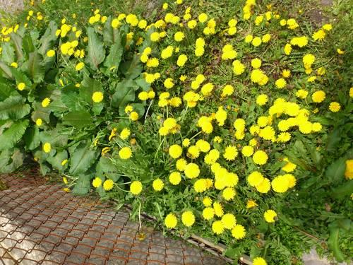 鮮やかな黄色いたんぽぽ_b0106766_2382280.jpg