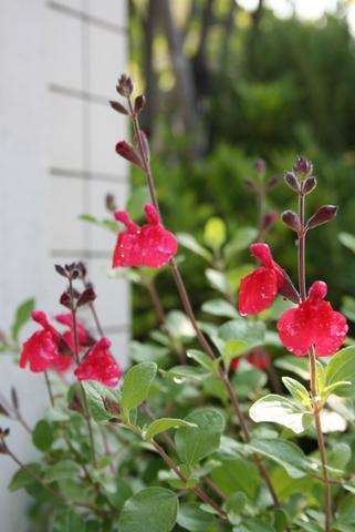 5月の庭と誕生日_c0248269_8223898.jpg