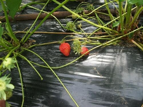 イチゴの初収穫と害獣ネット_f0018078_193542.jpg