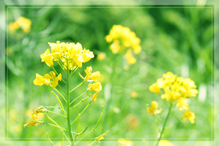 菜の花と父の形見_d0092990_23393942.jpg