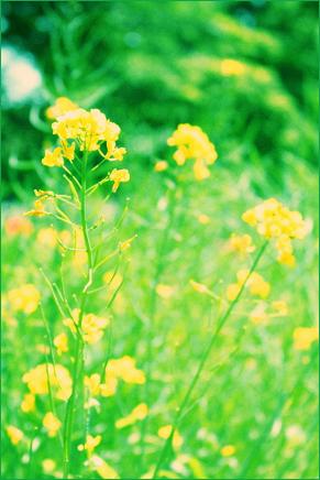 菜の花と父の形見_d0092990_23395188.jpg
