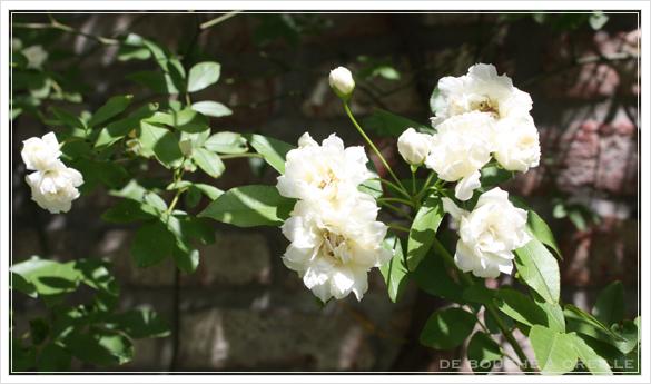 Rose en pleine floraison 薔薇が咲いた!_d0184921_17154196.jpg